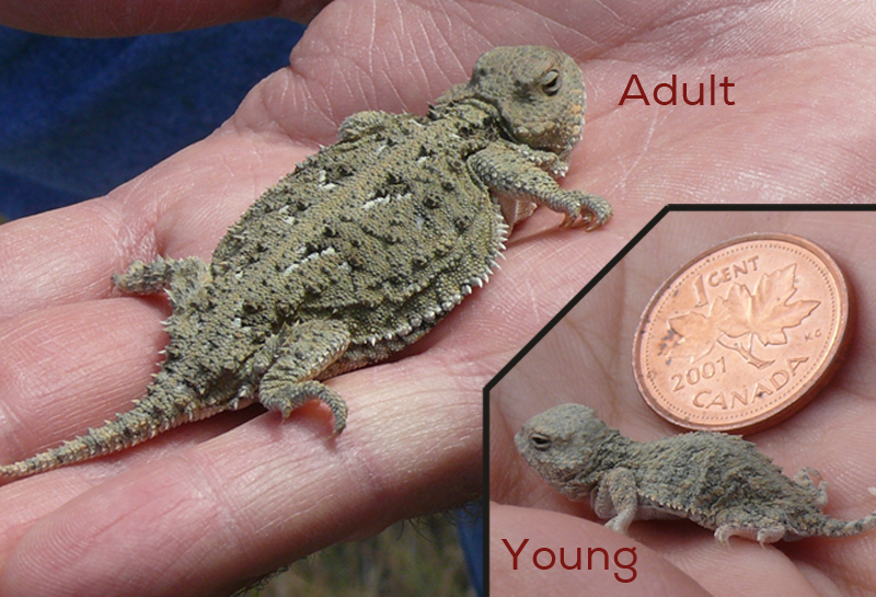 lizard size comparison