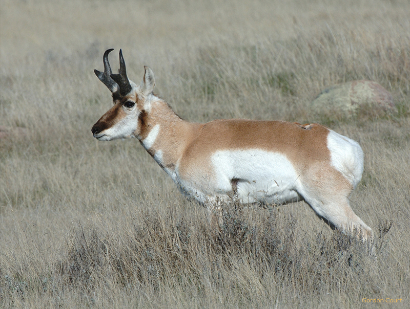 pronghorn title